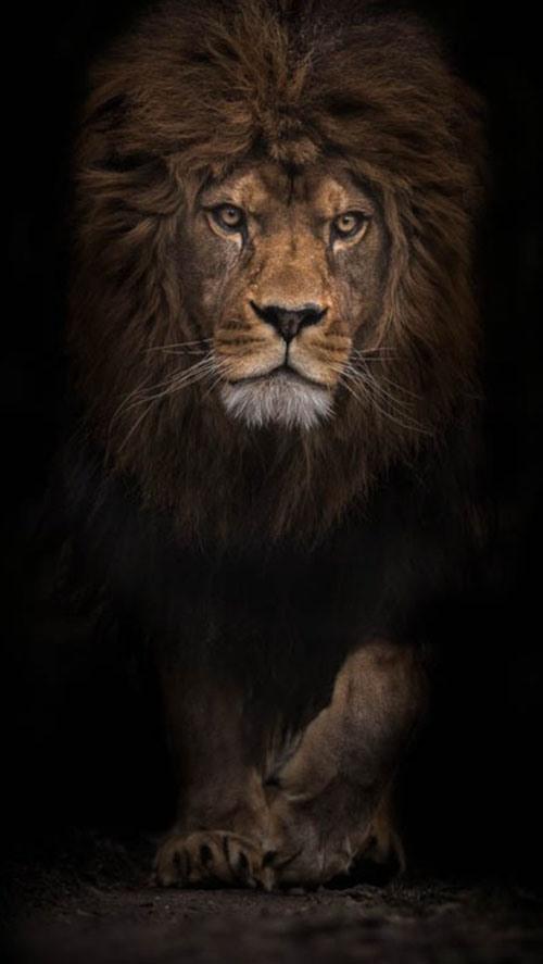 157-king-of-the-jungle-1-72e8d462-sz423x750-animate