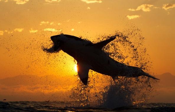 sharks2