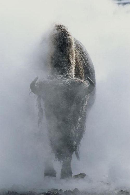 greatbuffalo